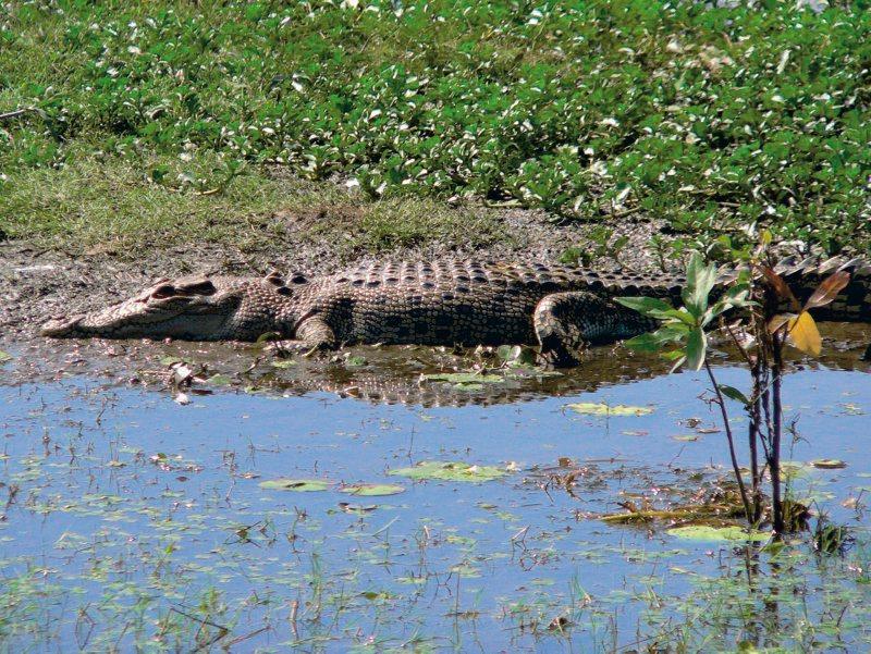 Krokodil im Kakadu Nationalpark, Northern Territory (NT)