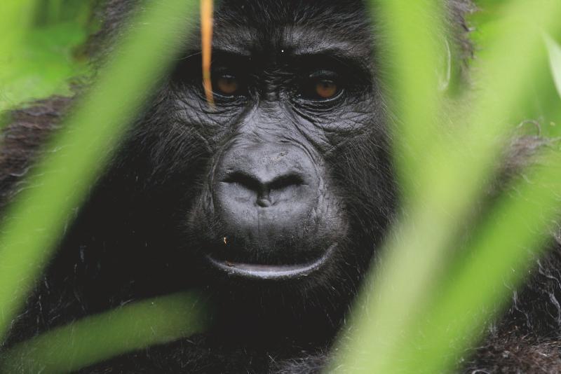 Gorilla Portrait Uganda