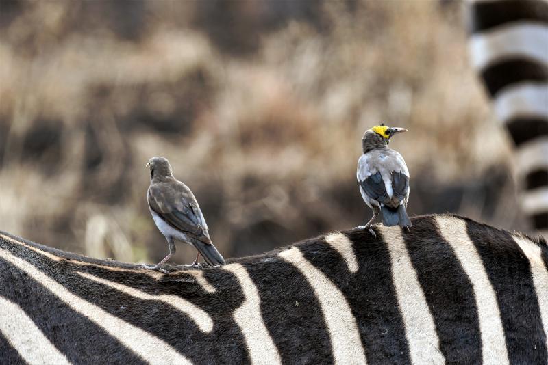 Zebra © Kenya-Experience
