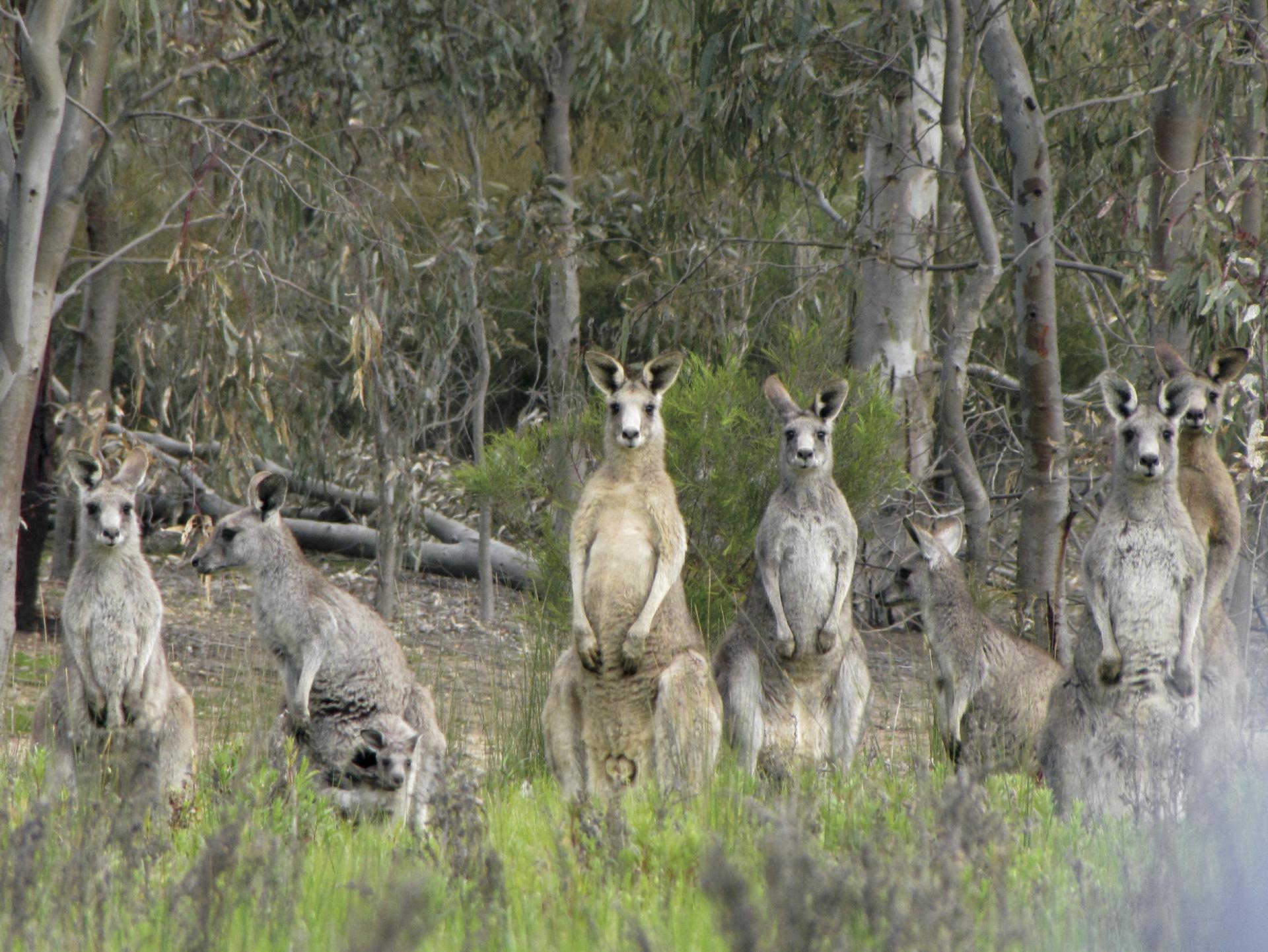 Neugierige Känguru Familie