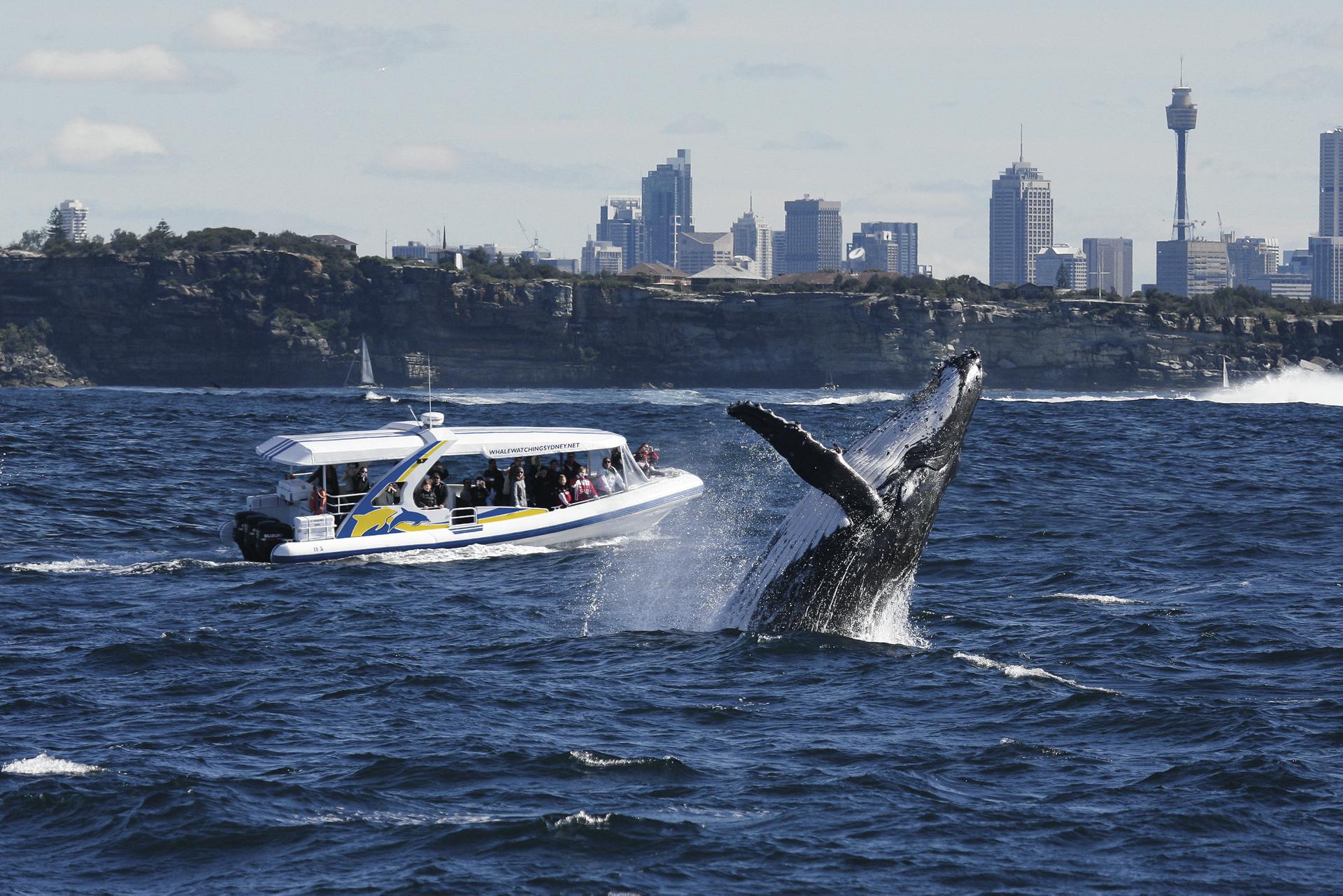 Walbeobachtung im Hafen von Sydney ©jonas liebschner
