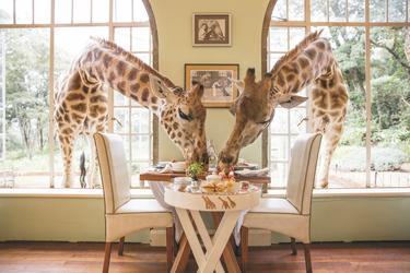 ©Giraffe Manor; Frühstück mit Giraffen