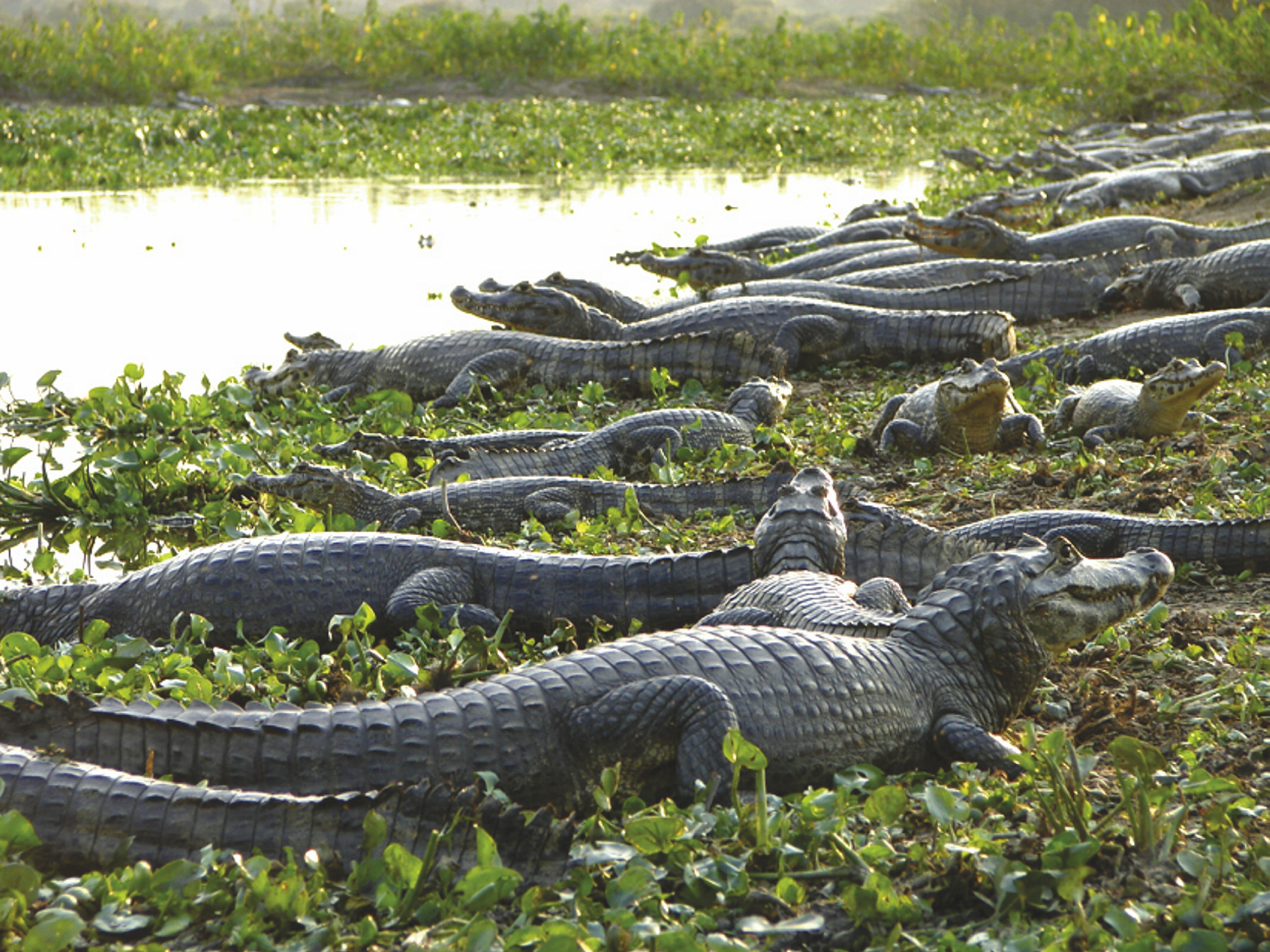 Krokodile im Pantanal