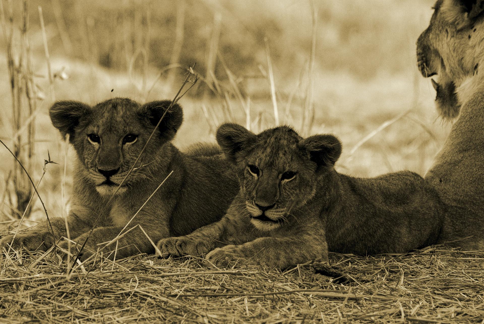 © Jongomero; Junge Löwen im Ruaha Nationalpark