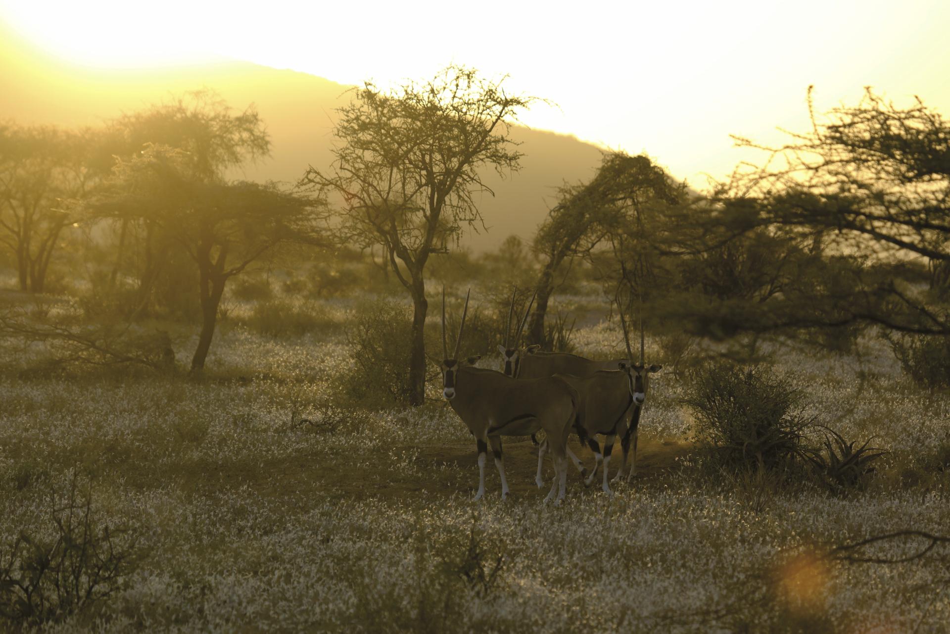 © Thomas Kimmel; Oryxantilopen