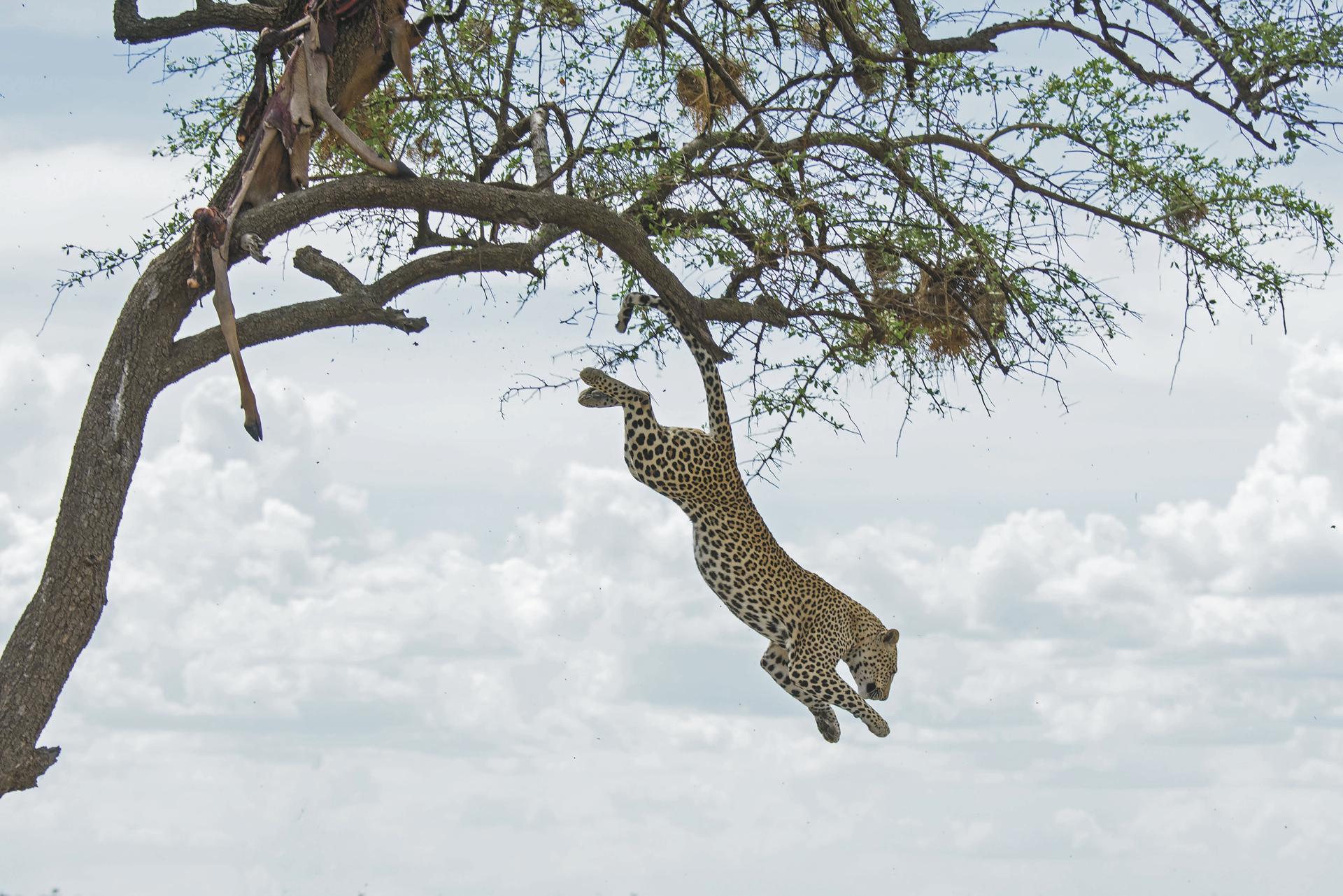 ©Wilkinson Tours; Leopard im Sprung
