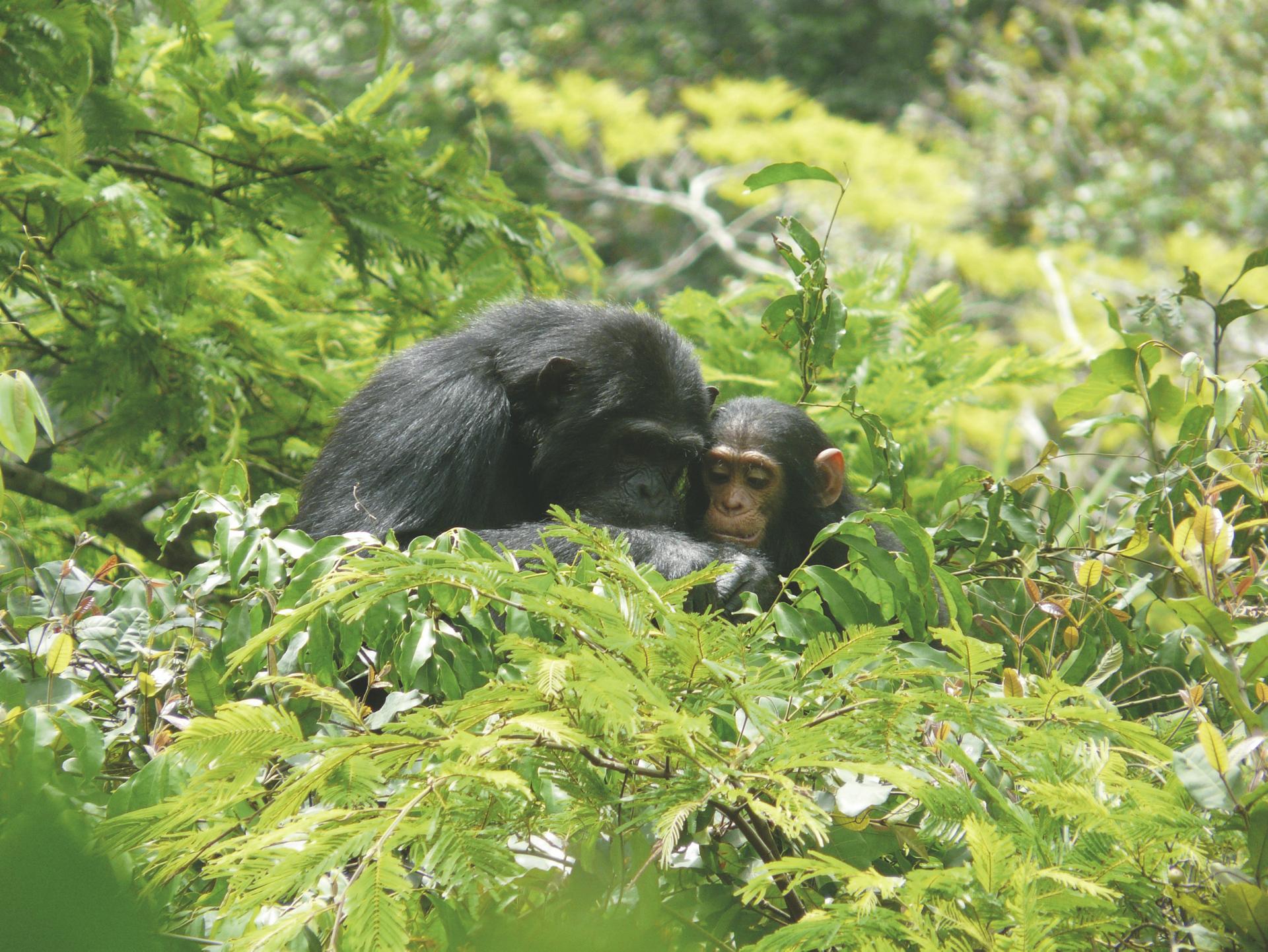 Schimpanse mit Jungem im Baum