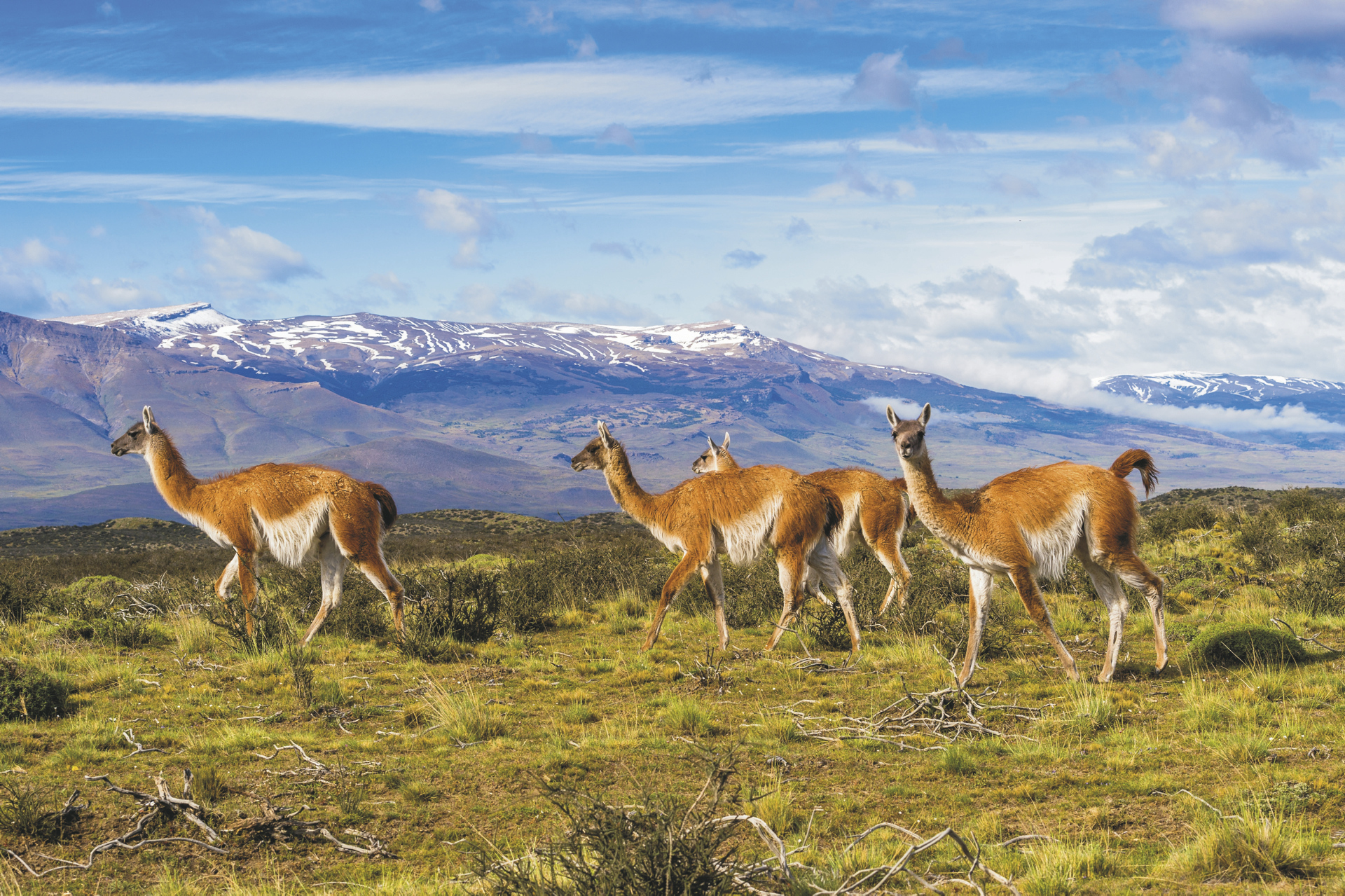 Guanaco-Herde in Patagonien