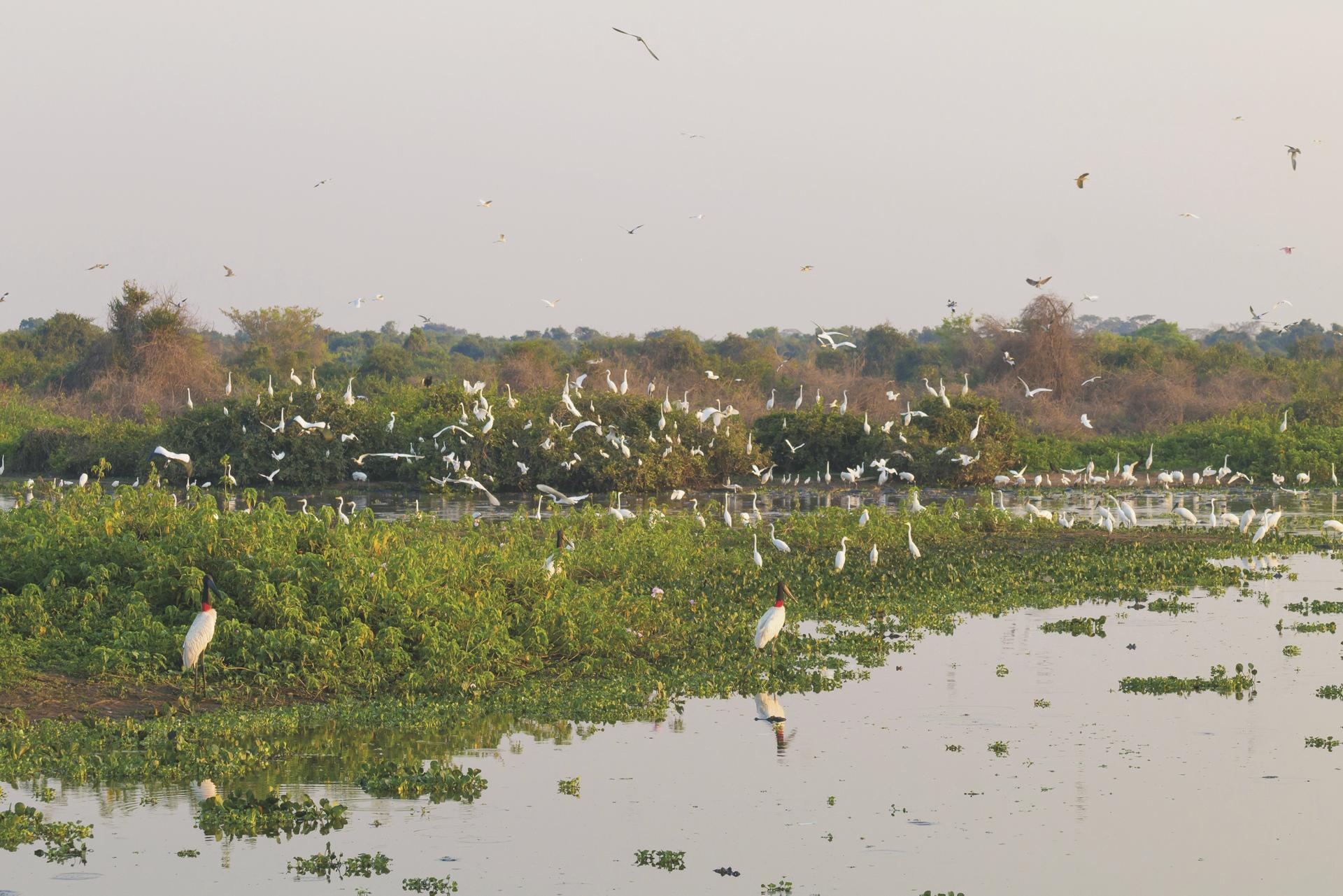 Störche im Pantanal