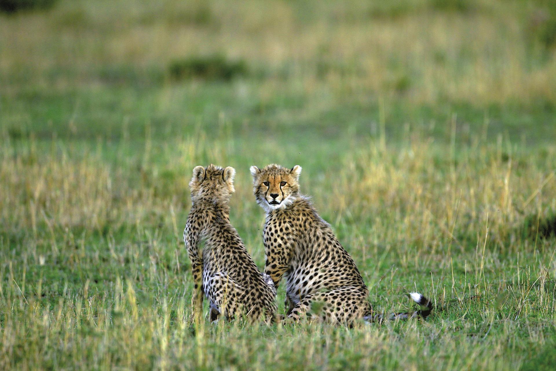 Junge Geparden in der Savanne