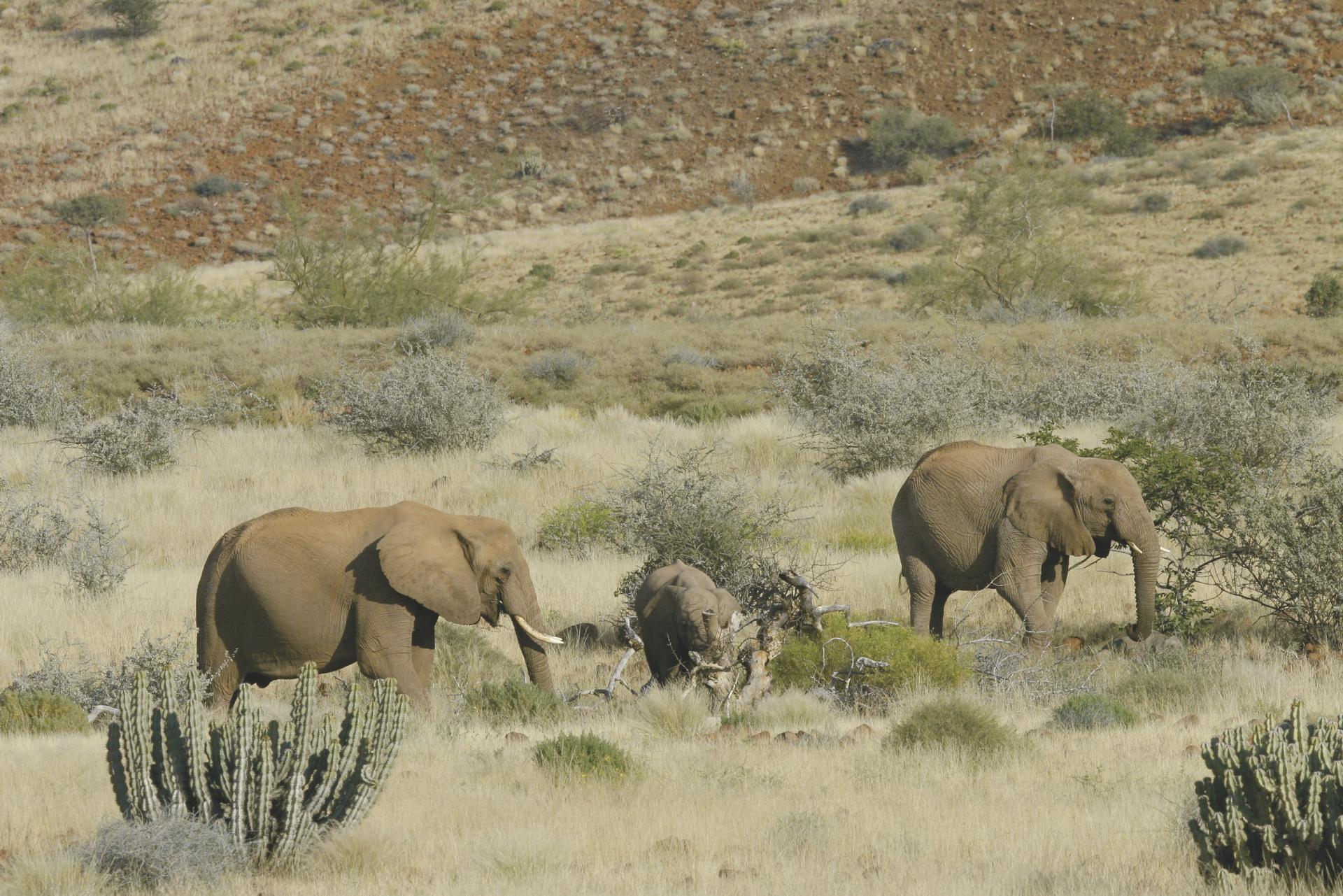 Wüsten-Elefantenherde